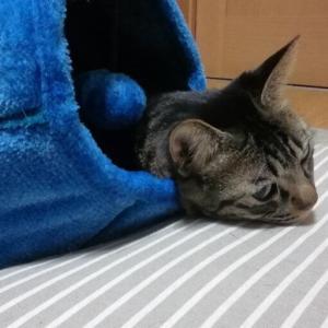 オモチャより眠気 猫動画