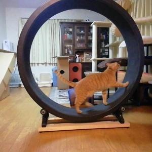 ウンチ前の キャットホイールウォーキング 猫動画
