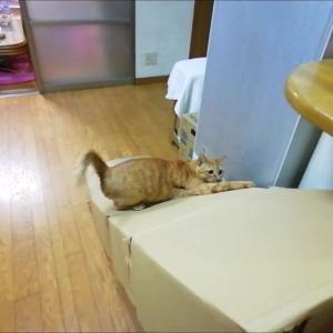 100均カシャブンで 滑り台 チャレンジ 猫動画
