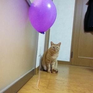プペル風船 と オモチャのコラボ 猫動画