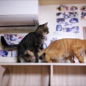 TV台棚で ワチャワチャ遊び 猫動画