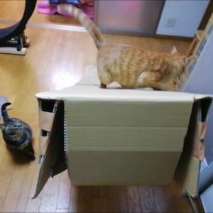 ひよこで 滑り台克服 猫動画