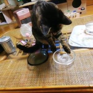 お皿の上で 遊ぶ & 滑り台ジャンプ 猫動画