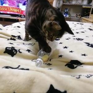 空ペットボトルに ひよこ をIN 猫動画