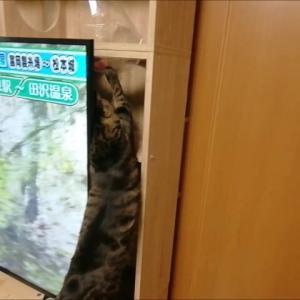 棚上 袋が気になる 猫動画