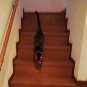 階段で持って来い 遊び 猫動画
