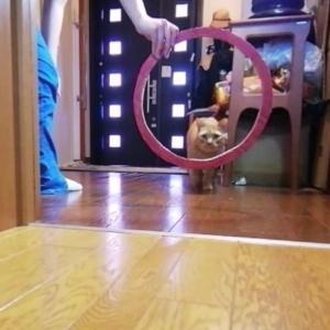 輪くぐり 初チャレンジ エイト編 猫動画