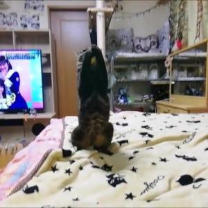 ひよこ キャッチ遊び 猫動画
