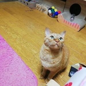 毛玉ボール 持って来い 遊び 猫動画