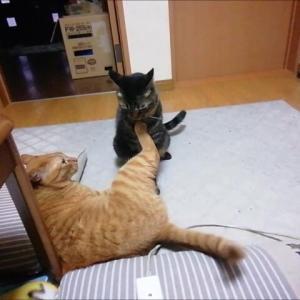 4ラウンドのショート ニャンプロレス 猫動画