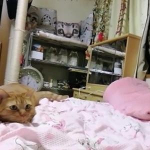 毛玉ボール キャッチ遊び 猫動画