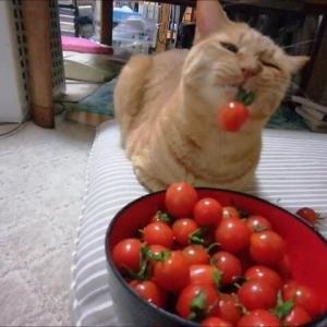 ミニトマト 振り振り 猫動画