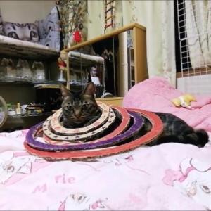 輪投げ 猫ポール 猫動画