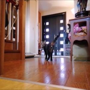 猫生初 猫ボーリング 猫動画