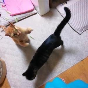 天然ジャラシ 2回目 猫動画