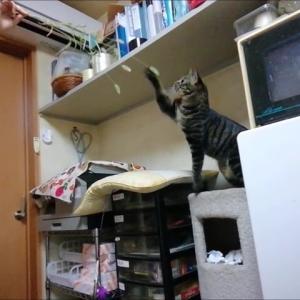3回目の 天然ジャラシ 猫動画