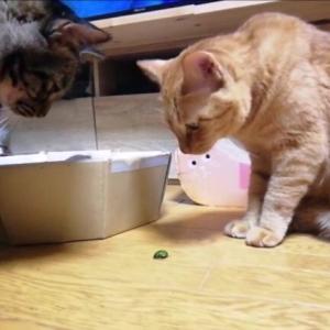 猫生初 カナブンとお部屋でご対面 猫動画
