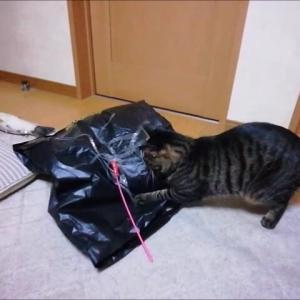 大きな袋で遊んだよ 猫動画