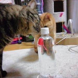 新タコ🐙 ボトルで泳ぐよ 猫動画