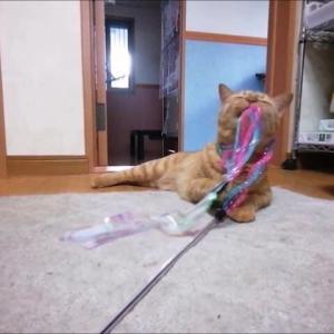 新キラキラロングオモチャ で 首ハメ 猫動画