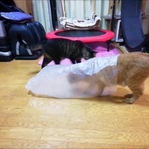カシャカシャ袋で 遊ぶニャア 猫動画