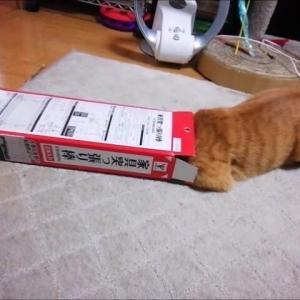 小さな箱と キラキラボール 猫動画