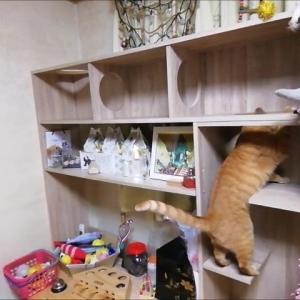 ニャン棚 大移動 猫動画
