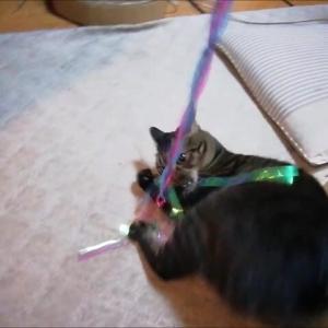 キラキラジャラシと 箱のコラボ 猫動画