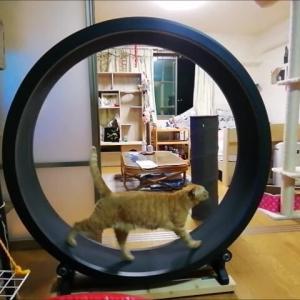 キャットホイールのその後は... 猫動画