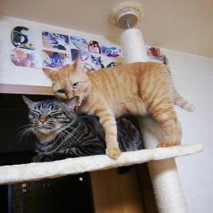 木登りタワー上で あらら・・・ヤバいでしょ 猫動画