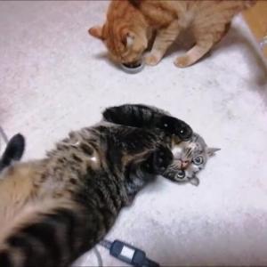 またたびの実で クネクネ 猫動画