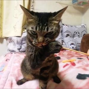 耳かきジャラシ 猫動画