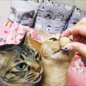 キャットウォークへGO 猫動画