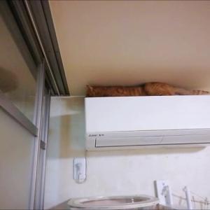猫生初 エアコンの上に登った 猫動画