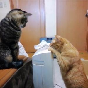ひよこチョイチョイ遊び 猫動画