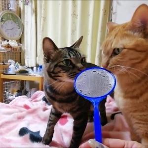 金魚すくいのアミアミ 猫動画