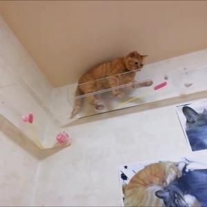 キャットウォークで 毛玉ボールサッカー 猫動画