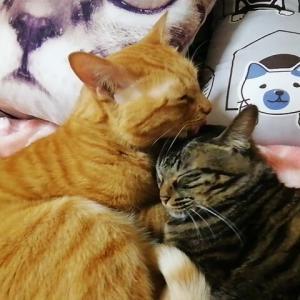 互いにラブ舐め 猫動画