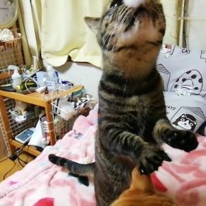 猫生初 耳かきのフワフワを体感 猫動画