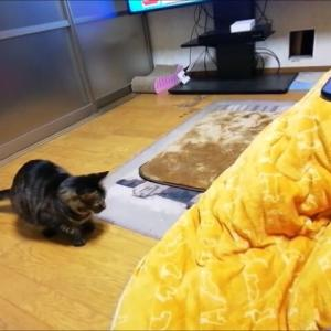 軍手ネズミと ひよこ ダブルで遊んだよ 猫動画
