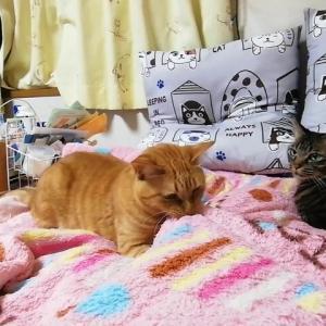 布団噛み遊び 猫動画