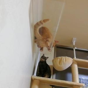 キャットウォーク 吊り橋 を ピューマ走りする 猫動画