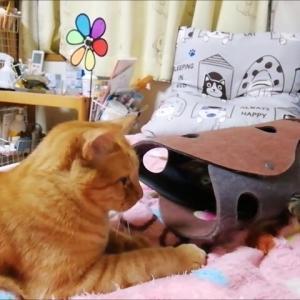 フェルトトンネルとジャラシのコラボ 猫動画