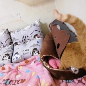 フェルトトンネル 入って・・・あらら~~ 猫動画