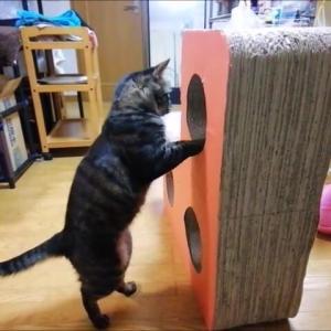 デカ爪とぎの穴遊び 🎵 猫動画