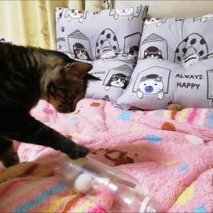 ペットボトルの中のオモチャ 猫動画