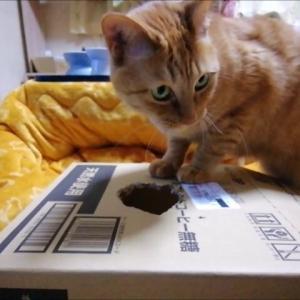 箱穴 と ジャラシのコラボ遊び 猫動画