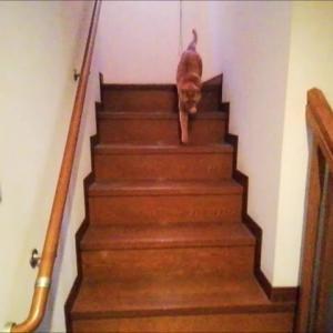 出来たて毛玉ボール 階段編 猫動画