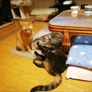 まだ続くのか コンビのプロレス 猫動画