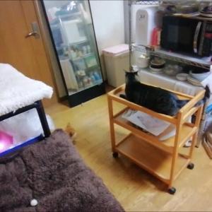キッチンワゴン 遊園地 🎵   猫動画